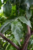 Melicoccus bijugatus honeyfruit tree sapindaceae from sout america. Leaf and tree trunk Royalty Free Stock Photos