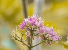 Melicope elleryana menchie Kwitnęli Doughwood lub Evodia Fotografia Royalty Free
