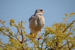 南部的苍白歌颂苍鹰, Melierax canorus 图库摄影