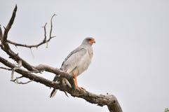 南部的苍白歌颂苍鹰, Melierax canorus 免版税图库摄影