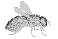 Melifera d'api Image libre de droits