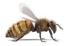 Melifera d'api illustration de vecteur