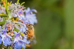 Melifera de los apis de la abeja que come la flor violeta del romero Fotos de archivo libres de regalías