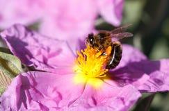 Melifera de los apis de la abeja de la miel sobre el detalle macro de la flor de par en par Foto de archivo