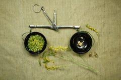 Meliloto secco Medicina di erbe, erbe medicinali di fitoterapia Immagini Stock Libere da Diritti
