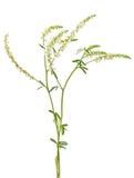 Melilotus albus flower Stock Images