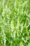 Melilotus albus flowers. On meadow, soft focus Royalty Free Stock Photo