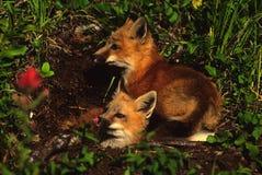 melina lis szczeni się czerwień Obrazy Stock