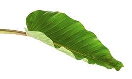 Melinonii de philodendron de feuille de philodendron, grand feuillage vert d'isolement sur le fond blanc Images libres de droits