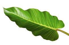 Melinonii de philodendron de feuille de philodendron, grand feuillage vert d'isolement sur le fond blanc Images stock