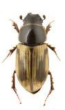 Melinopterus prodromus Stock Image