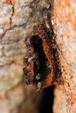 Melipona apicalis Fotografering för Bildbyråer