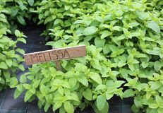 Melissa é uma planta típica aos pratos do tempero o nome Melissa fotografia de stock royalty free