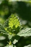 melissa φυτό Στοκ φωτογραφίες με δικαίωμα ελεύθερης χρήσης