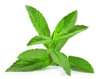 Melissa. Fresh green leaf of melissa isolated on white background Stock Photos