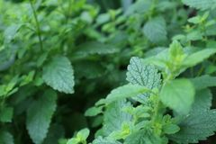 Melissa defocused detail in the garden. Herb plant leaves. Lemon balm royalty free stock images