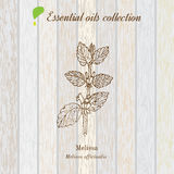 Melissa, essential oil label, aromatic plant Royalty Free Stock Images