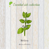 Melissa, essential oil label, aromatic plant Stock Images