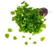 Melissa, fresh green mint in container. Studio Photo stock photo