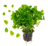Melissa, fresh green mint in container. Studio Photo royalty free stock photography