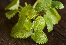 Melissa herb stock image