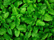 Melissa herb. Fresh melissa herb close up. Melissa officinalis stock photos