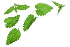 Melissa leaf or lemon balm isolated on white background with copy space for your text. Top view. Flat lay pattern.  royalty free stock images