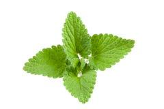 Melissa leaf or lemon balm isolated on white background Stock Images