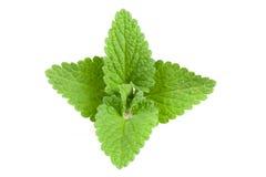 Melissa leaf or lemon balm isolated on white background Royalty Free Stock Photo