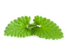 Melissa leaf or lemon balm isolated on white background Stock Photos