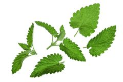Melissa leaf or lemon balm isolated on white background. Top view. Flat lay pattern royalty free stock photos