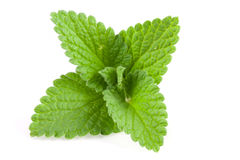 Melissa leaf or lemon balm  on white background Stock Images