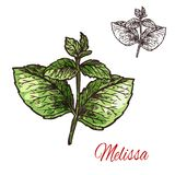 Melissa leaf sketch of medical plant and aroma herb. Melissa branch sketch of medical plant and aroma herb. Lemon balm twig with green leaf, natural ingredient vector illustration