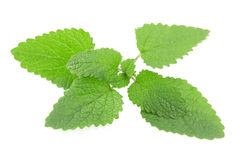 Melissa, lemon balm Royalty Free Stock Photos