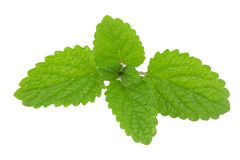 Melissa, lemon balm Royalty Free Stock Image