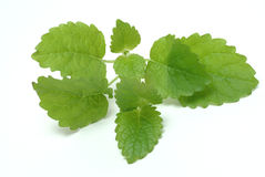 Melissa, lemon balm, Melissa officinalis Royalty Free Stock Images