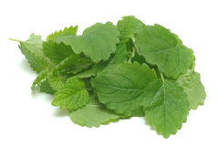 Melissa, lemon balm, Melissa officinalis Stock Photography