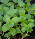 Melissa officinalis. Or Balm mint plant stock image