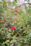 Melissa officinalis with flower. Nice photo of green and red blossom stock photography