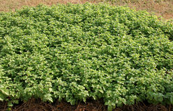 Melissa officinalis, Kitchen mint. Cultivated in vegetable garden royalty free stock image
