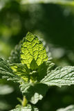 Melissa plant. Lemon balm cultivated in garden. Anti-stress herb Royalty Free Stock Photos