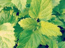 Leaves of Melissa Plant Close Up Royalty Free Stock Photo
