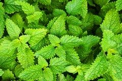 melissa plant texture stock photos