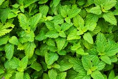 melissa rośliny tekstura obraz royalty free