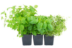Melissa, thyme and basil in a pot Stock Photography