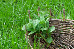Melissa twigs in the old basket. Green grass around royalty free stock photo