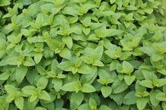 Melissa uma planta típica aos pratos do tempero O nome Melissa é fotografia de stock