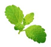 Melissa verde do limão, folhas de hortelã isoladas imagem de stock royalty free