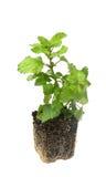 Melissaofficinalis som är bekanta som citronbalsam, gemensam balsam eller balsam Arkivbild