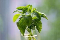Melissaofficinalis sund ört, stammar för citronbalsam med gräsplansidor i genomskinlig glass vas arkivbild